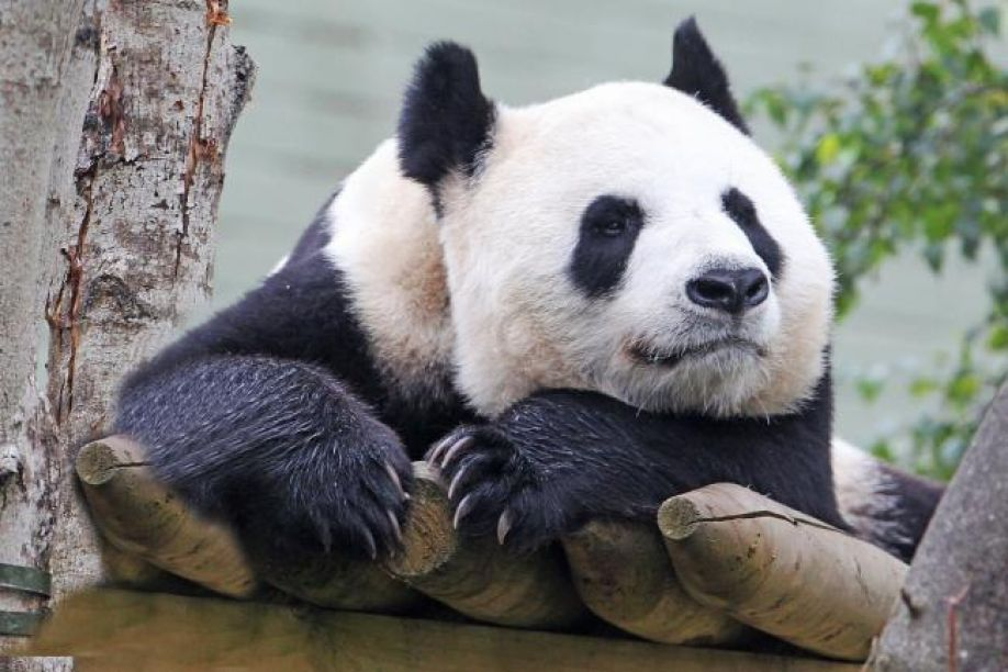 a panda at Edinburgh zoo